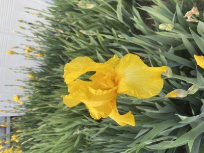 黄色のアイリス🌸