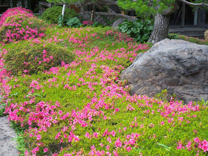 サツキの花これからが見頃になってきます。