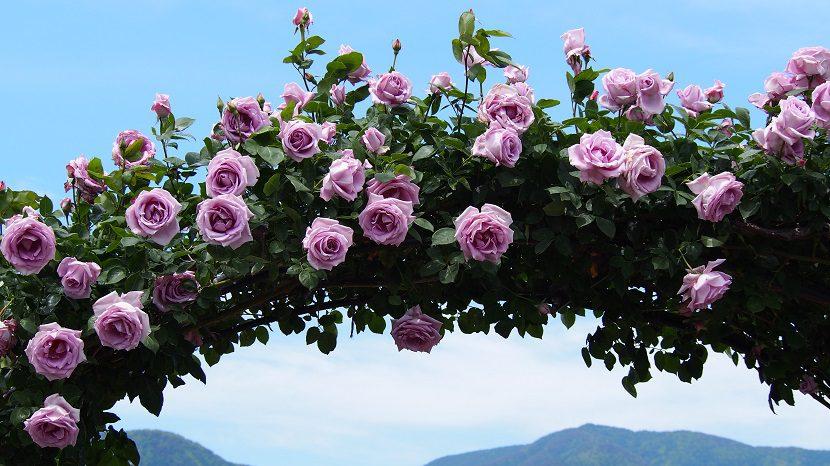 今週末からバラ祭りが開催されます(隣の坂城町)